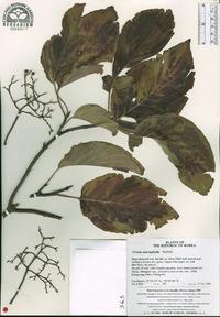 Cornus macrophylla image