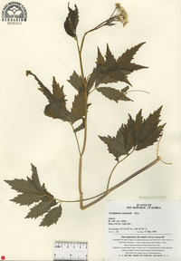 Image of Cardamine yezoensis