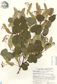 Image of Tilia chinensis