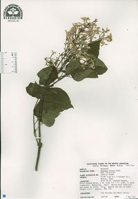 Syringa oblata image