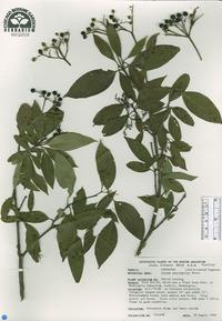 Image of Cornus paucinervis