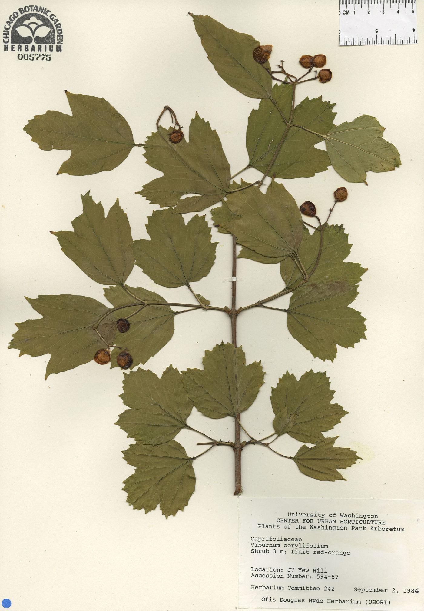 Viburnum corylifolium image