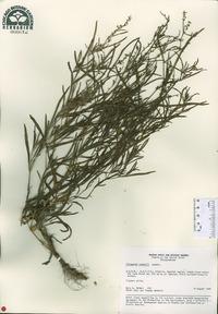 Image of Persicaria laxmannii