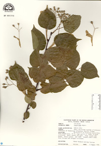 Image of Tilia tuan