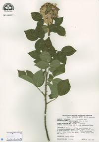 Rosa setigera var. tomentosa image