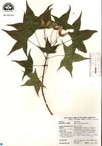 Acer truncatum image