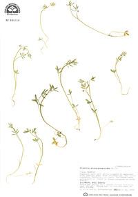 Floerkea proserpinacoides image
