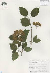 Viburnum dentatum image