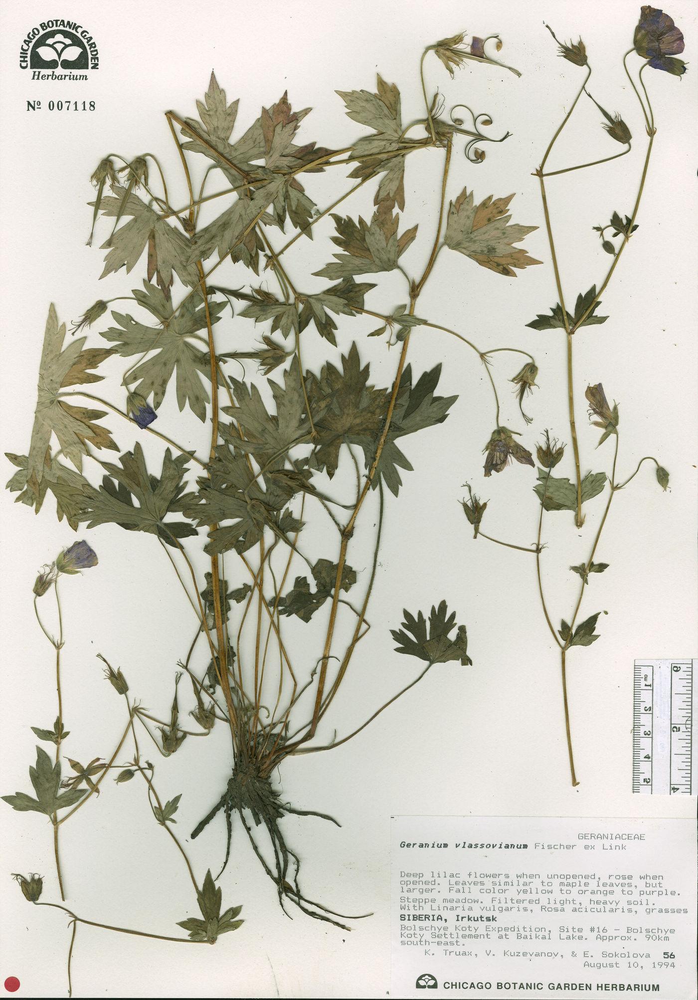 Geranium wlassovianum image