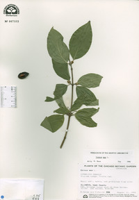 Cornus mas image