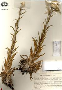 Image of Echinops integrifolius