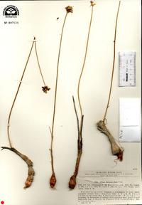 Image of Allium dictyoscordum