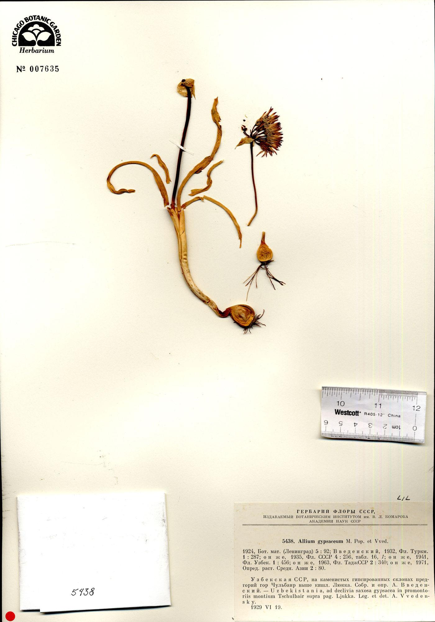 Allium gypsaceum image