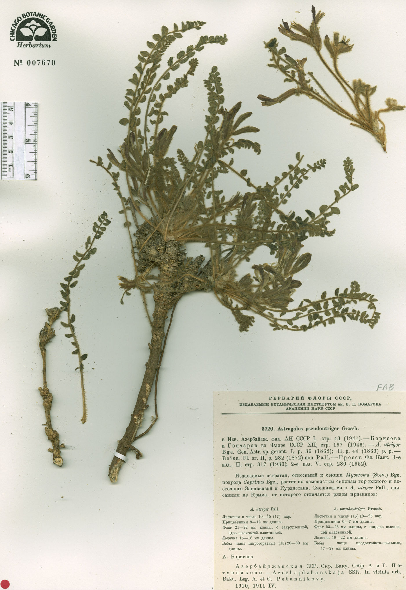 Astragalus pseudoutriger image