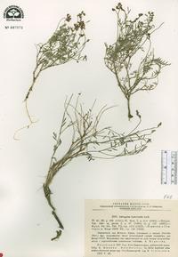 Image of Astragalus leptocaulis