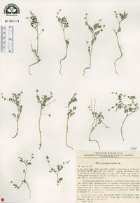 Image of Astragalus dipelta
