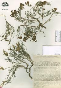 Image of Astragalus angarensis