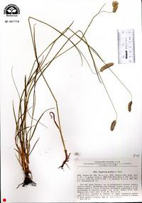 Image of Alopecurus glacialis