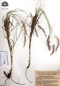 Pennisetum orientale image