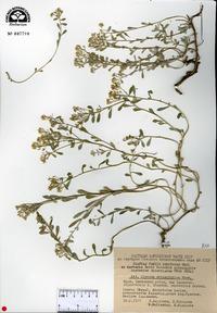 Image of Alyssum obtusifolium