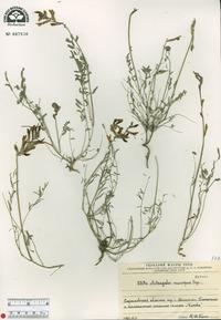 Image of Astragalus macropus