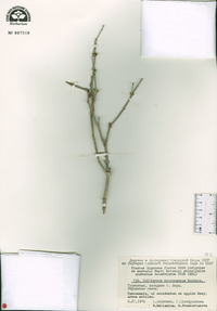 Image of Calligonum microcarpum