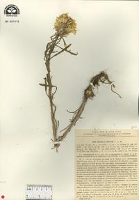 Image of Erysimum altaicum