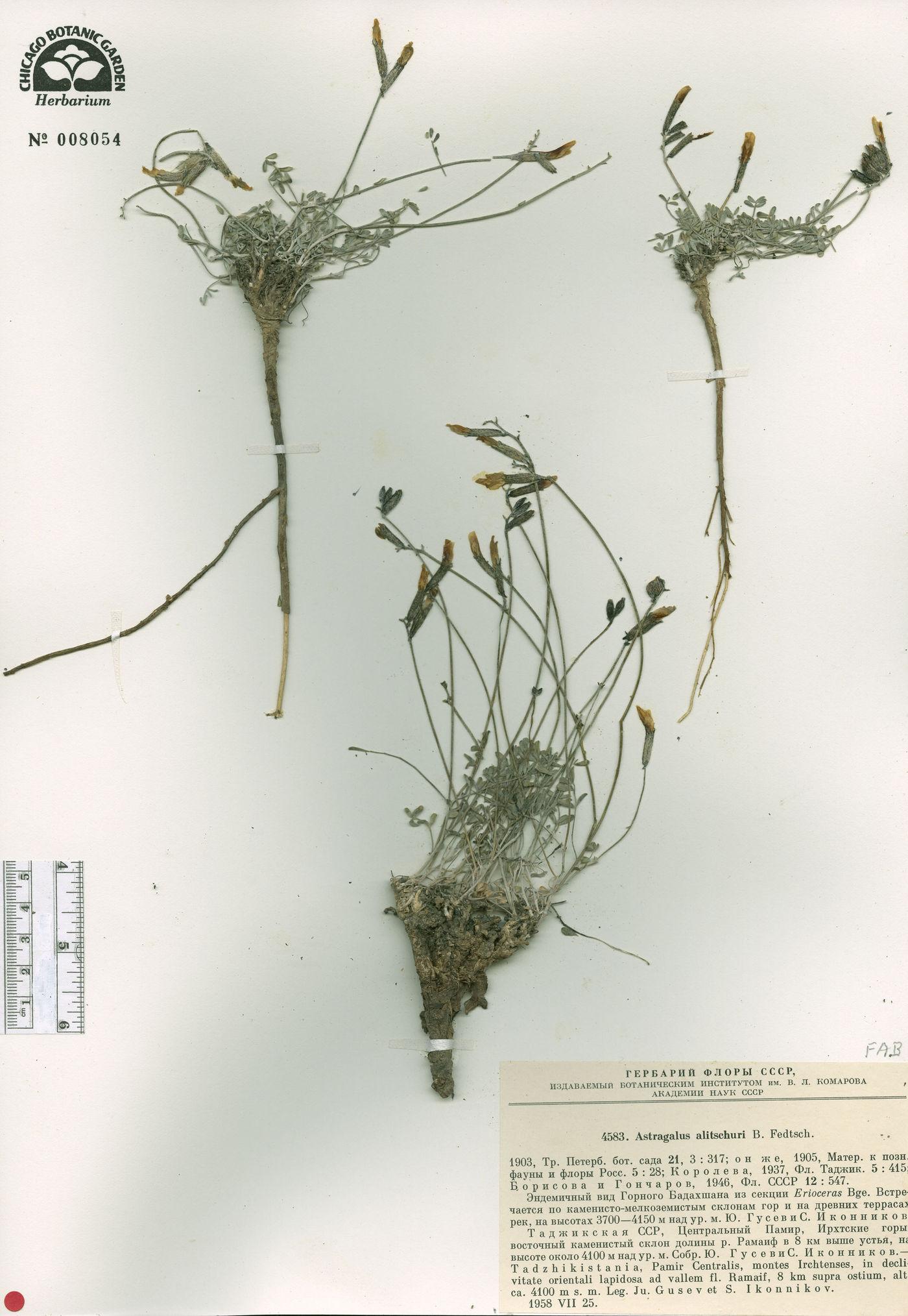 Astragalus alitschuri image