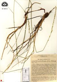 Image of Elymus bungeanus