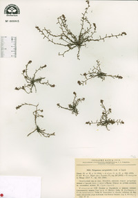 Image of Polygonum corrigioloides