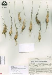 Image of Allium setifolium