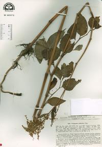 Image of Polygonum coriarium