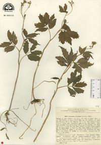 Image of Cardamine leucantha