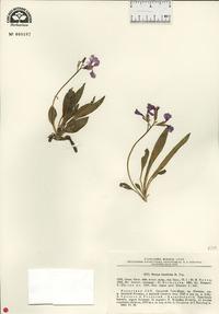 Image of Parrya lancifolia