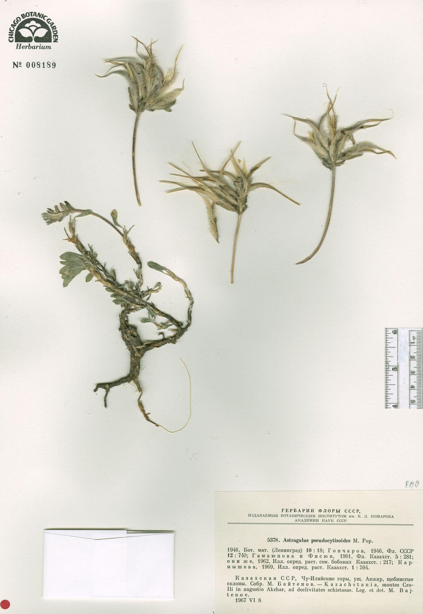 Astragalus pseudocytisoides image