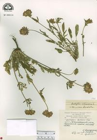 Anthyllis vulneraria image