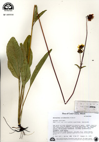 Helianthus occidentalis image
