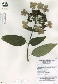Image of Hydrangea strigosa