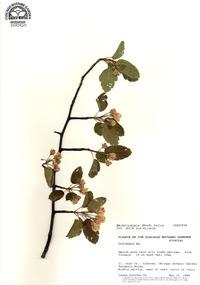 Pyrus ioensis image