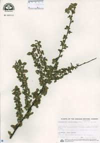 Cotoneaster divaricatus image