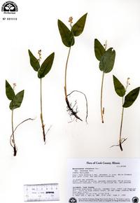 Maianthemum canadense var. interius image