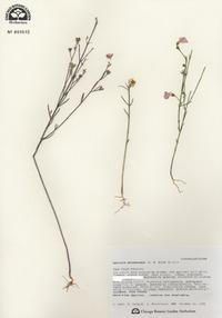 Agalinis skinneriana image