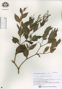 Image of Persicaria alpina
