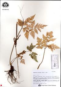 Osmorhiza aristata image
