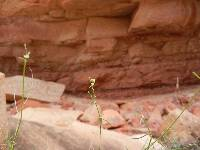 Euphorbia aaron-rossii image