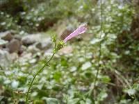 Image of Salvia davidsonii
