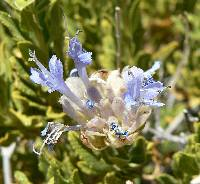Image of Salvia mohavensis