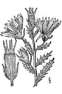 Image of Mentzelia nuda