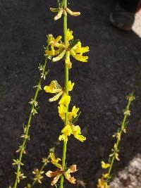 Image of Lotus scoparius