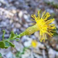 Image of Ericameria cuneata